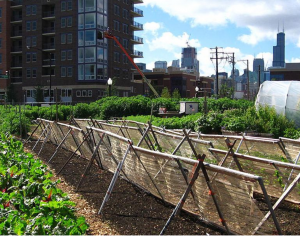 Urban garden in Chicago helps food security